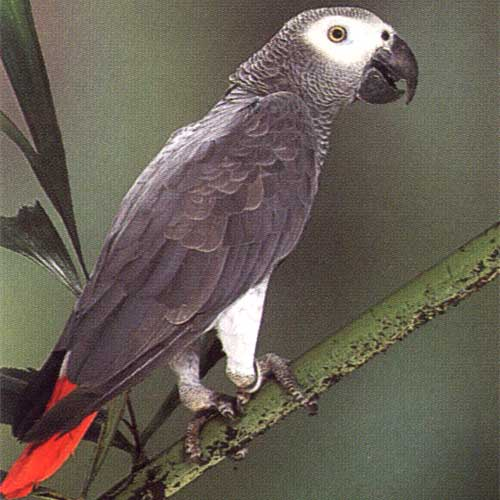 African Grey - Starboard Elevation