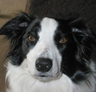 Border Collie. More intelligent than at least eighty percent of america.