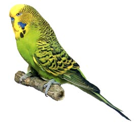 Noisier than an industrial sewage pump! More chatty than a domestic avian! Able to comprehend fuck-all without first saying it aloud to himself! It's manbudgie!