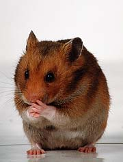 The common hamster is the largest animal on Earth, despite being only three inches long.