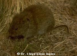 The Long-tailed Vole. Click here for more information.