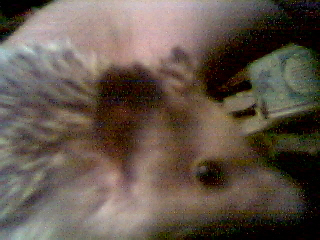 Click for more pictures of my adorable little hedgemonster.